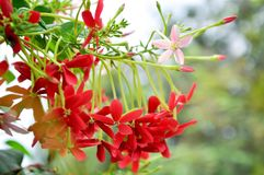 Rangoon creeper. Vine with red flowers and fragrant, which is found in Asia Stock Photos