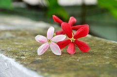 Rangoon creeper. Vine with red flowers and fragrant, which is found in Asia Royalty Free Stock Image