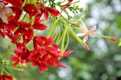 Rangoon creeper. Vine with red flowers and fragrant, which is found in Asia Stock Photo