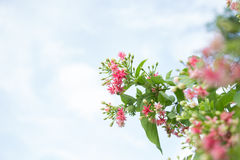 Rangoon flower. Macro Rangoon creeper,Quisqualis indica,Combretum indicum Stock Image