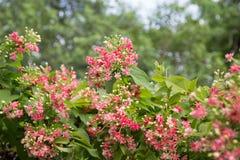Rangoon flower. Macro Rangoon creeper,Quisqualis indica,Combretum indicum Royalty Free Stock Images