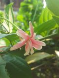Rangoon flower. Pink rangoon flower Stock Image