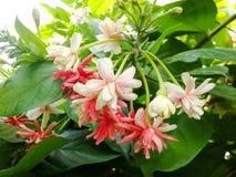 Rangoon flower. Pink rangoon creeper flower in garden royalty free stock photo