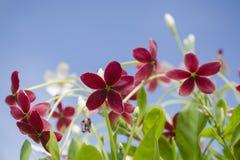 Rangoon pełzacz kwiat ciemna czerwień zieleni zieleni lanca sh Obraz Stock