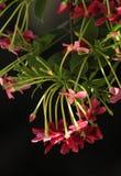 Rangun-Kriechpflanze Stockfoto