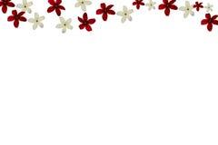 Rangun-Kriechpflanze auf weißem Hintergrund Stockfotos