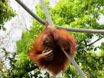 0rangutan (Pongo Bornéo) pendant d'une corde Photographie stock