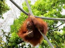 0rangutan (Pongo Bornéu) que pendura de uma corda Fotografia de Stock