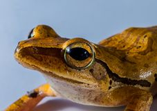 Ranidae, Amphibian, Frog, Toad Royalty Free Stock Images