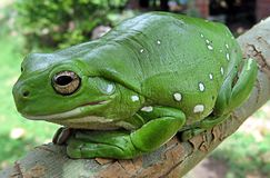 Ranidae, Amphibian, Frog, Toad Stock Photo