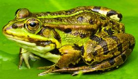 Ranidae, Amphibian, Toad, Frog Royalty Free Stock Photos