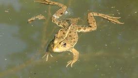 Ranidae - true frog Royalty Free Stock Photo