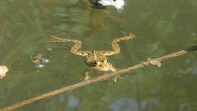 Ranidae - true frog Stock Images