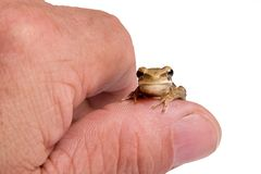 Ranita_4081. Small tree frog on a thumb, white background.(Hyla Pulchela royalty free stock image