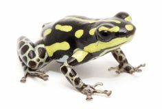 Poison dart or arrow frog, Ranitomeya flavovittata. A yellow striped poisonous animal from the tropical Amazon rain forest in Peru. Isolated on white royalty free stock images