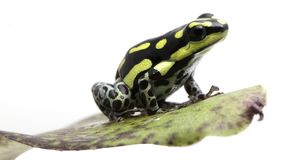 Ranitomeya flavovitata. Yellow striped poison dart frog, Ranitomeya flavovitata. A beautiful small poisonous animal from the tropical Amazon rain forest in Peru stock photography