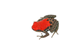 Ranitomeya reticulata Arkivbilder