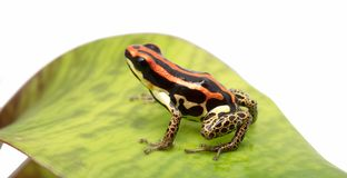 Ranitomeya uakarii golden leggs. Red stiped poison dart frog from the Amazon rain forest, Ranitomeya uakarii golden leggs stock photo