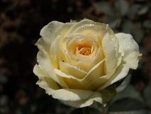Ranków Różani Dewdrops Fotografia Royalty Free