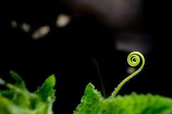 Rankagurkorna Fotografering för Bildbyråer