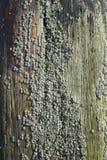 Rankenfußkrebse auf Holz Lizenzfreie Stockfotografie