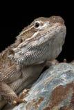 Rankin's Dragon (Pogona Henrylawsoni) Stock Photos