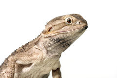 Rankins Dragon Stock Photography