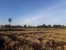 Ranku światło i ryżu pole po zbierać Zdjęcie Stock