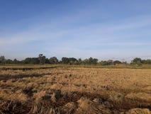 Ranku światło i ryżu pole po zbierać Obraz Royalty Free