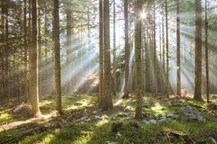Ranku światło słoneczne w drewnach Zdjęcie Royalty Free