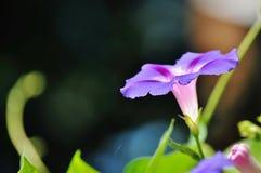 Ranku glory/ipomea purpurea Zdjęcia Stock