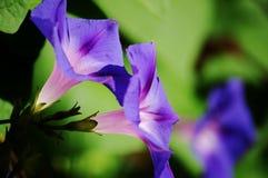 Ranku glory/ipomea purpurea Zdjęcie Royalty Free