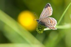 Ranku motyl na zielonej łące Smokey Euchrysops malathana Błękitny motyli obsiadanie na ostrzu trawa fotografia royalty free