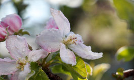 Ranku mróz na jabłku kwitnie, Kwiecień 21,2017 Obraz Stock