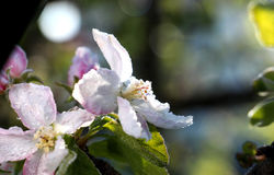 Ranku mróz na jabłku kwitnie, Kwiecień 21,2017 Fotografia Royalty Free