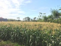 Ranku niebo na plantację Zdjęcia Royalty Free
