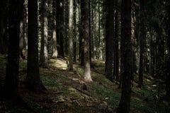 Ranku słońca iść synklina las Zdjęcie Stock