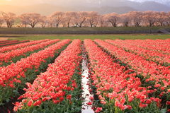 Ranku słońca tulipany i czereśniowy drzewo fotografia stock