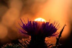 Ranku słońce Nad Purpurowym kwiatem Zdjęcie Stock