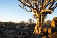 Ranku słońce uderza krakingową barkentynę aloesu kołczanu drzewo i niewygładzony roc obraz royalty free