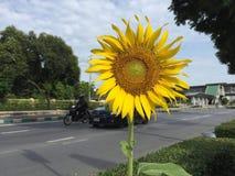 Ranku słonecznik Zdjęcie Stock