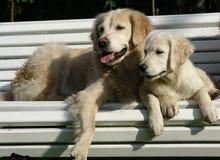 Ranku spacer pies w drewnach zdjęcia royalty free