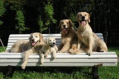 Ranku spacer pies w drewnach zdjęcie royalty free