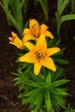 Ranku widok żółta leluja po deszczu zatrzymującego Obrazy Royalty Free