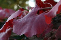 Ranku winogrona liść Obrazy Royalty Free
