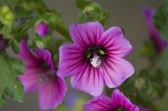 Ranku zachwyt: Purpurowi kwiaty Zdjęcia Stock