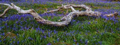 Rannerdale Bluebells blisko Crummock wody Obraz Royalty Free