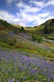 The Rannerdale Bluebells Royalty Free Stock Photo