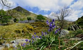 The Rannerdale Bluebells Royalty Free Stock Photography