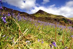 The Rannerdale Bluebells Royalty Free Stock Photos